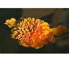Chrysanthemum Gently Floating in the Fountain of Campo de Fiori, Rome, Italy Photographic Print