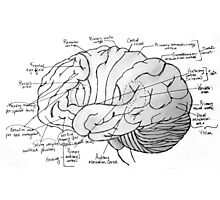 Labeled Brain Photographic Print