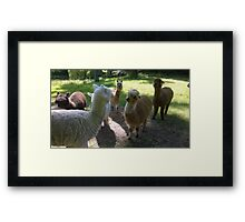 Got Alpaca? Framed Print