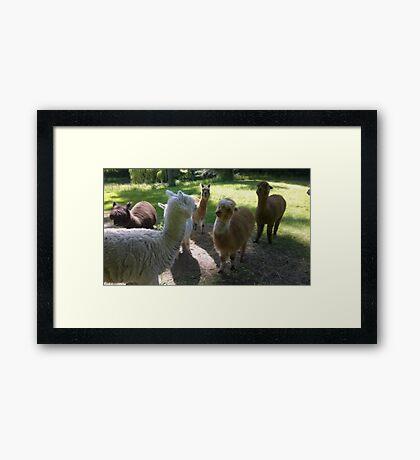Got Alpaca? Framed Print
