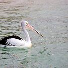 Pelican by mncphotography
