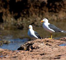 Pacific Gulls by mncphotography