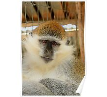 Wise Monkey - Nature Photography Poster