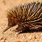 Echidna by mncphotography