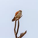 Nankeen Kestrel 2 by mncphotography
