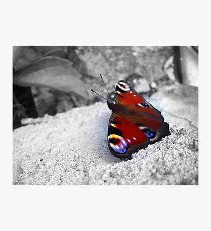 Beautiful Colorful  Butterfly - Nature Photography Photographic Print