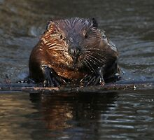A beaver's floatation device by Heather King