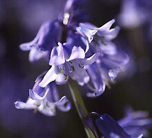 Spring Bluebells by Joy Watson
