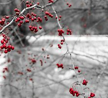 Winter Berries of Arrowtown by Adrian Alford Photography