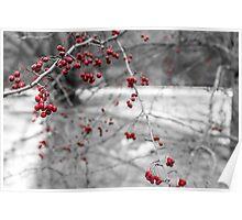 Winter Berries of Arrowtown Poster