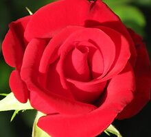 Single Red Rose #1 by Marilyn Harris