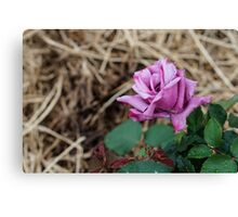 The First Rose of the season Canvas Print