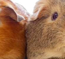 Two adorable guinea pigs Sticker