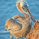 Brown Pelican At La Jolla Cove by K D Graves Photography