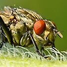 Flies Face 2 by relayer51