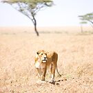 Tanzanian Lioness by Natalie Broome