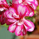 Geranium Close Up by Penny Smith