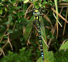 Resting dragonfly - image 1 by missmoneypenny