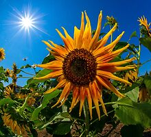 Sunflower by RandyHume