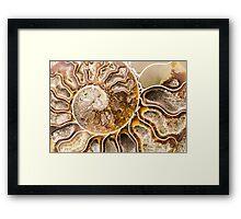 Spiral Ammonite fossil Framed Print