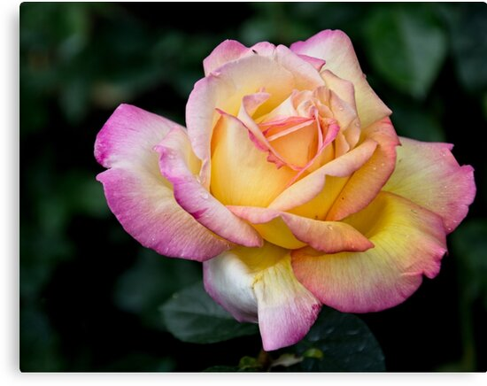 A Delicate Multi Hued Rose by Gerda Grice