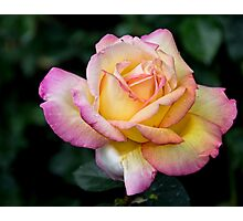 A Delicate Multi Hued Rose Photographic Print