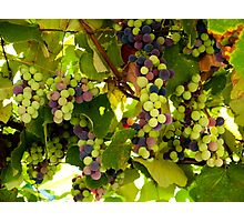 Growing Grapes Photographic Print