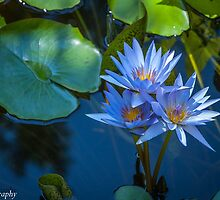 The Lily Pad  by John  Kapusta