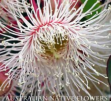 Australian Native Flowers by Marilyn Harris Photography by Marilyn Harris