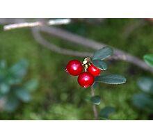 Berries of a wild lingonberry (Vaccinium vitis-idea) Photographic Print