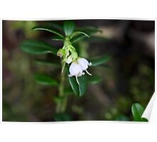Flowers of a wild lingonberry (Vaccinium vitis-idea) Poster