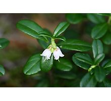 Flowers of a wild lingonberry (Vaccinium vitis-idea) Photographic Print