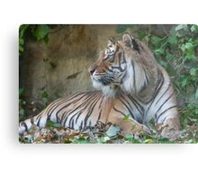 tiger at the zoo Metal Print