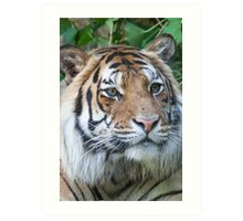 tiger at the zoo Art Print