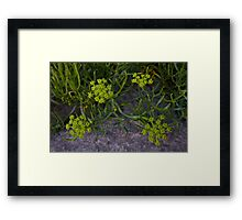 Rock Samphire, Inishmore, Aran Islands Framed Print