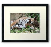 tiger at the zoo Framed Print