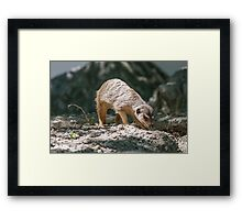 lemur at the zoo Framed Print