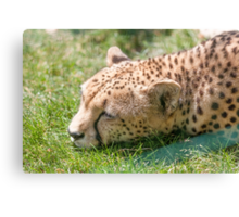 leopard at the zoo Canvas Print