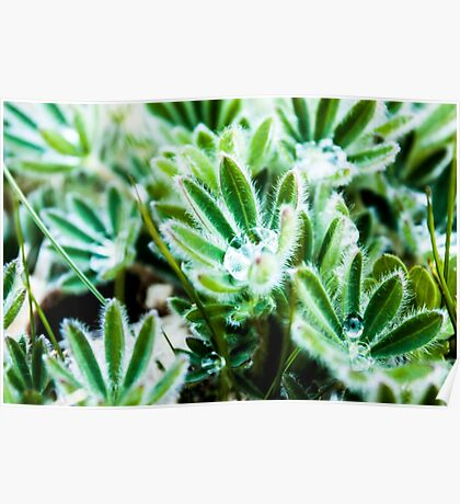 Lupine Leaves Photography Print Poster