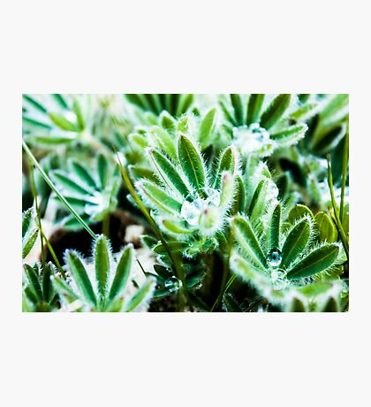 Lupine Leaves Photography Print Photographic Print