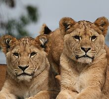 Portrait of Two Lion Cubs by Janet Jenkins