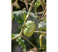 green tomatoes in garden Photographic Print