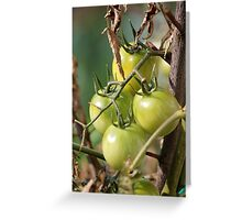 green tomatoes in garden Greeting Card