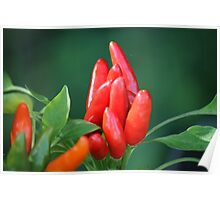 chili in vegetable garden Poster