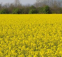 blooming field of rapeseed by spetenfia