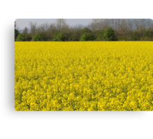 blooming field of rapeseed Canvas Print