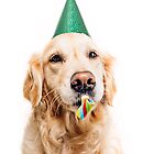 Golden retriever dressed up for a birthday by wandererswolves