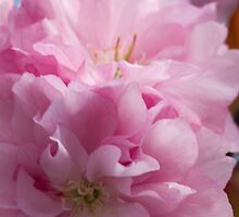 pink flowers on the trees by spetenfia