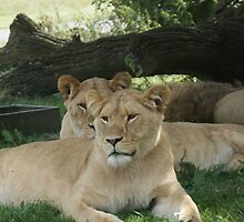 Restful Lioness by ashbo1