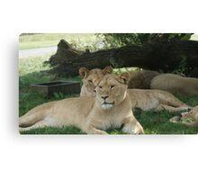 Restful Lioness Canvas Print